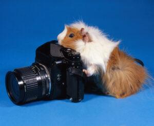 Meerschweinchen als Fotograf an der Kamera